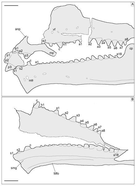 Toothed elements of Sphenofontis velserae gen. et sp. nov.