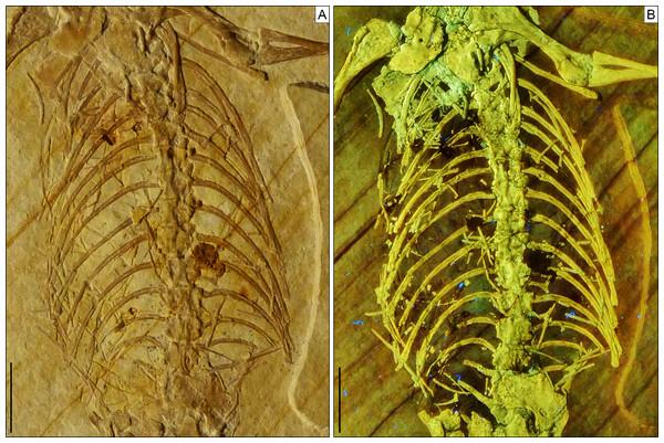 Trunk region of Sphenofontis velserae gen. et sp. nov.