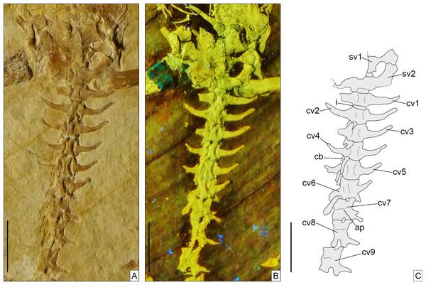 Sacral and anterior caudal region of Sphenofontis velserae gen. et sp. nov.