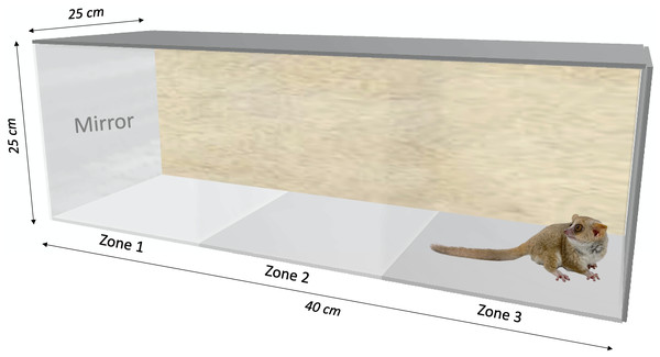 Behavioral testing box (40×25×25 cm) used for the mirror-image stimulation study in Microcebus murinus.