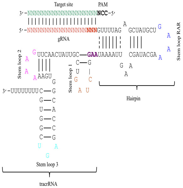 The schematic demonstration of the sgRNA secondary structure.