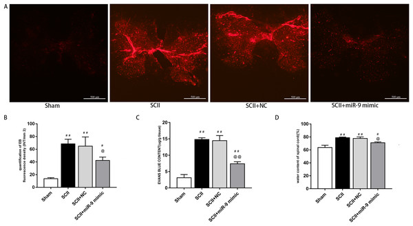 Effects of on BSCB disruption and spinal cord water content at 48 h after SCII.