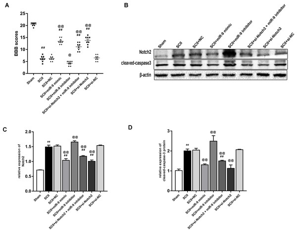 Intrathecal pretreatment with miR-9 mimic or Notch2 siRNA ameliorates neurological function and reduces the increase of cleaved-caspase3 after SCII.