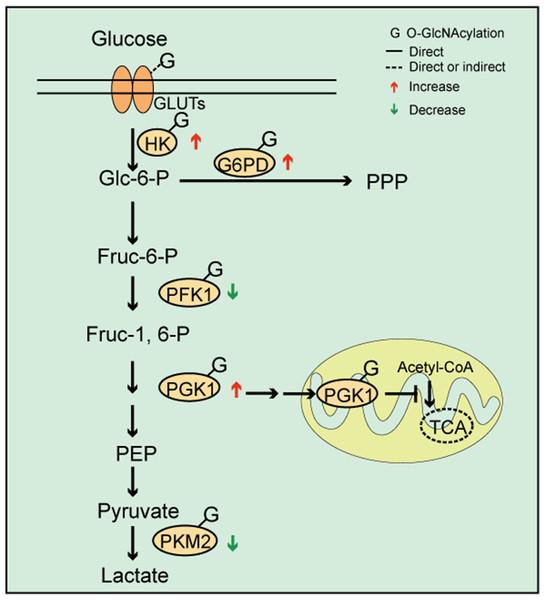 O-GlcNAc modifications and cellular metabolism.