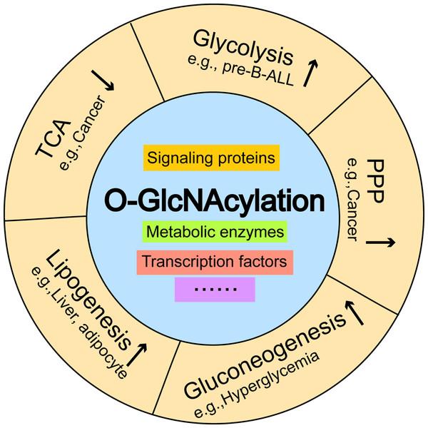 The effects of O-GlcNAcylation on representative metabolic pathways.