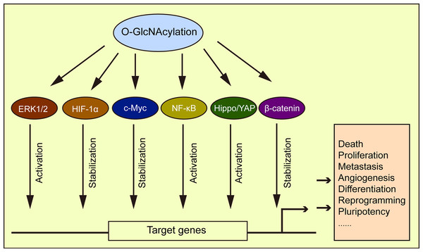 O-GlcNAcylation is associated with multiple signaling pathways.