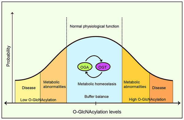 O-GlcNAcylation metabolic homeostasis is critical for normal cellularphysiology.