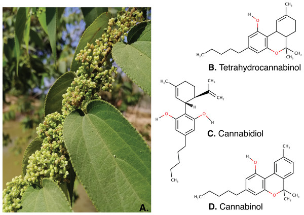 The inflorescence of Trema orientalis (A) and major cannabinoids structure; Tetrahydrocannabinol (B), Cannabidiol (C) and Cannabinol (D) were found in inflorescence fractions.