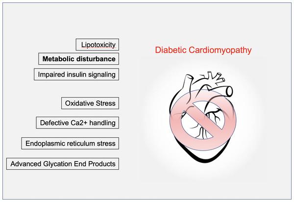 Mechanisms of diabetic cardiomyopathy.