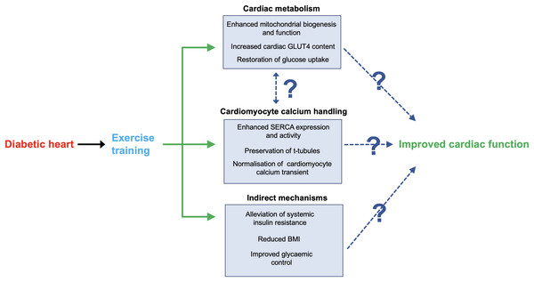 Key mechanisms through which exercise may improve cardiac function in DCM.
