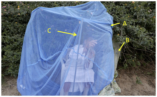 Set up of mosquito net over vegetation for use in the collection of, mosquitoes leaving diurnal resting at dusk.