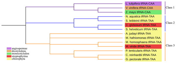 The phylogenetic tree of tRNALeu.