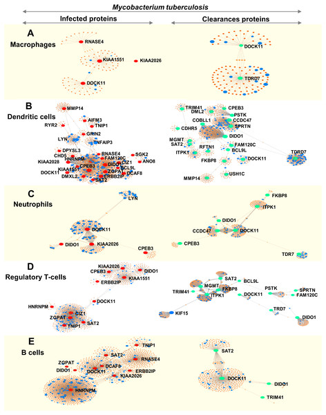 Networks of proteins secreted by leukocytes while infected with, and following clearance of, M. tuberculosis (any lineage) classified by immune-cell type (macrophages, dendritic cells, neutrophils, regulatory T-cells and B-cells).