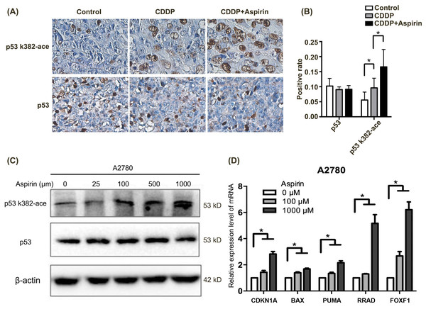 Aspirin acetylates p53 in A2780 cells and subsequently activates p53-mediated downregulation of target genes.