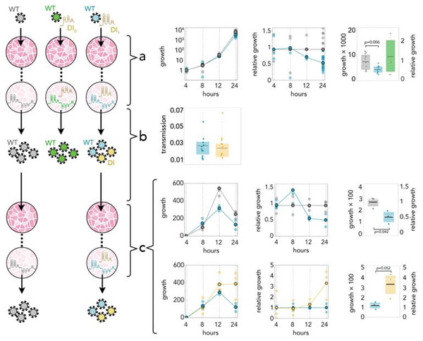 DI1 reduces the amount of SARS-CoV-2 by half; it replicates 3 times faster; and it is transmitted with the same efficiency.