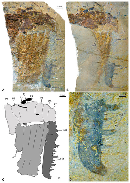 Hurdiid frontal appendage (NIGPAS 173694) from the Cambrian (Jiangshanian) Sandu Formation, Guangxi, China.