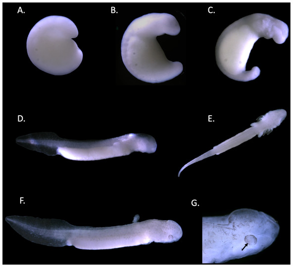 Staging of the Texas blind salamander (E. rathbuni).