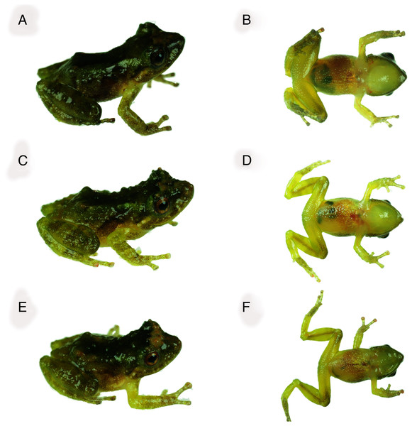 Dorsal and ventral views of Pristimantis achupalla sp. n. paratopotypes.