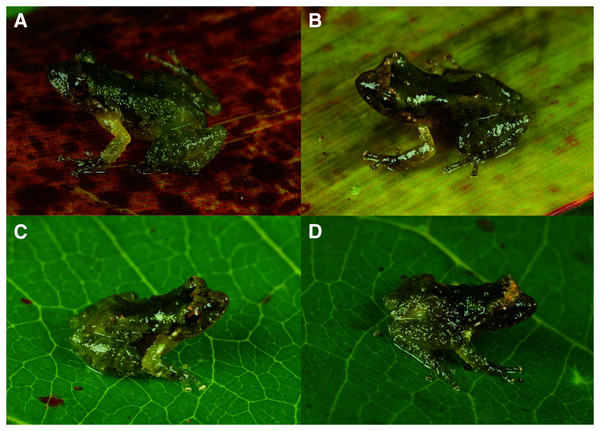 Dorsolateral views of holotype and three paratypes of Pristimantis achupalla sp. n. showing detail of coloration patterns and morphological feactures.