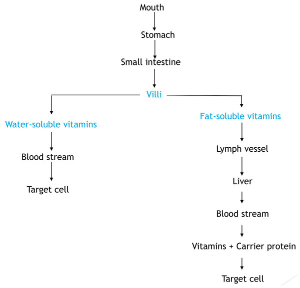 Flow diagram showing the absorption of vitamins.
