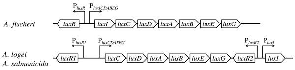 Structural organization of lux regulons of bacteria from Aliivibrio genus (Manukhov et al., 2011).