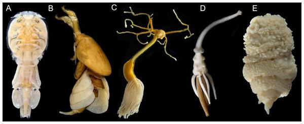 Photographs showing diversity of parasitic copepod body plans.