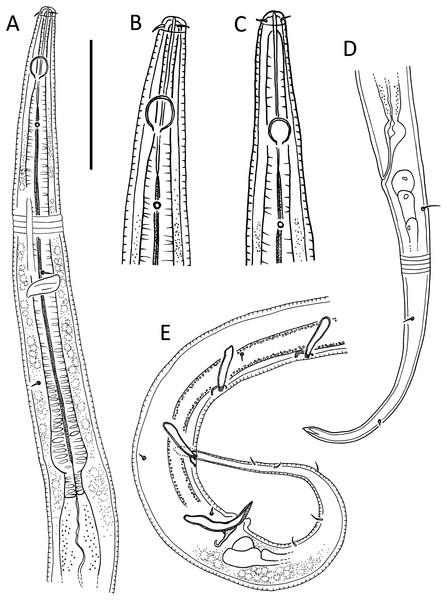 Leptolaimus hadalis sp. nov.