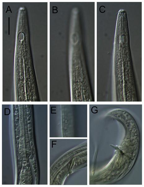 Leptolaimus hadalis sp. nov. Light micrographs of holotype.