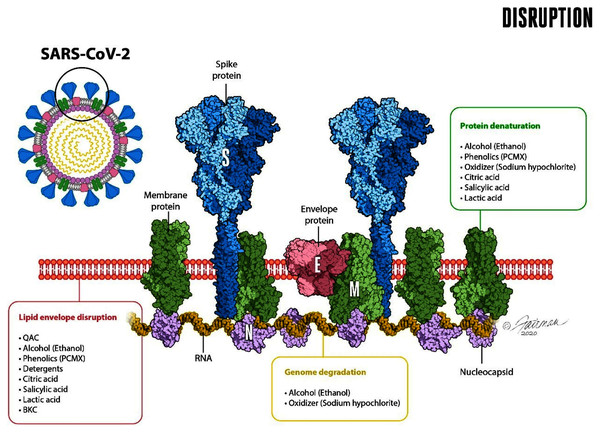 Schematic representation of the enveloped virus SARS-CoV-2 and depiction of the lipid envelope, indicating ultrastructure and mechanisms of action of microbicides, including components of formulated soap (from Ijaz, Nims & McKinney, 2021a).