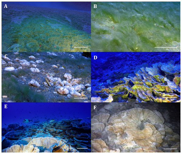 Remotely operated vehicle (ROV) images of the filamentous mats and mesophotic reefs off Rapa Nui.