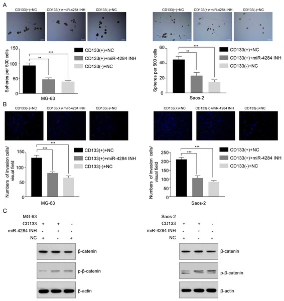 Relationship between miR-4284 and the self-renewal and invasion ability and Wnt pathway in CD133(+) cells from MG-63 and Saos-2 cells.