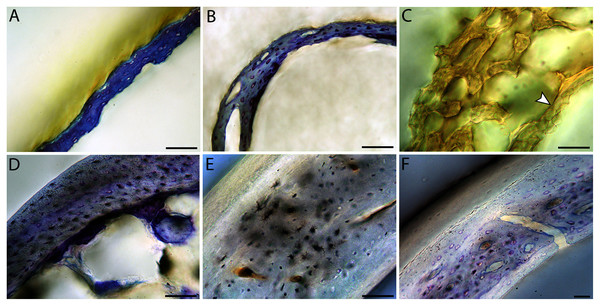 Close-up photographs of microanatomical details in the humeri of altricial birds.