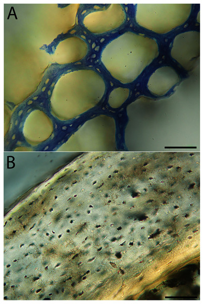 Close-up photographs of microanatomical details in the femora of semi-altricial 2 birds, in this case a single taxon: the mourning dove (Zenaida macroura).
