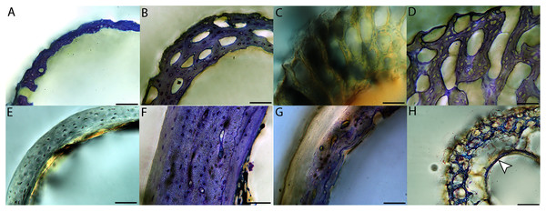 Close-up photographs of microanatomical details in the femora of altricial birds.