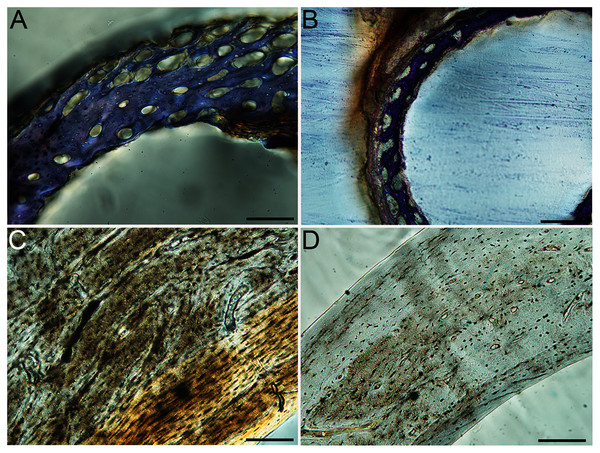 Close-up photographs of microanatomical details in the humeri of precocial birds, sections from neonates shown in the top row and from adults in the bottom row.