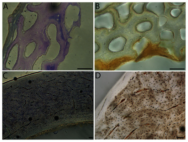 Close-up photographs of microanatomical details in the humeri of semi-precocial birds, sections from neonates shown in the top row and from adults in the bottom row.