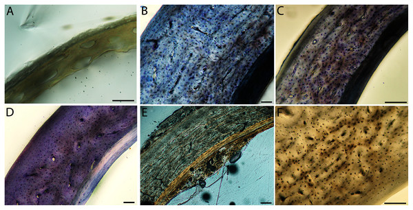 Close-up photographs of microanatomical details in the humeri of semi-altricial 1 birds.