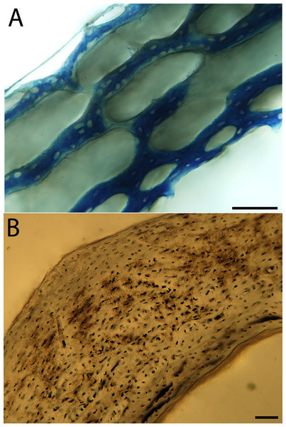 Close-up photographs of microanatomical details in the humeri of semi-altricial 2 birds, in this case a single taxon: the mourning dove (Zenaida macroura).