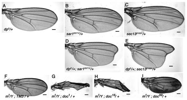 Vesicle trafficking mutations strongly enhance a dumpy dominant oblique mutation.