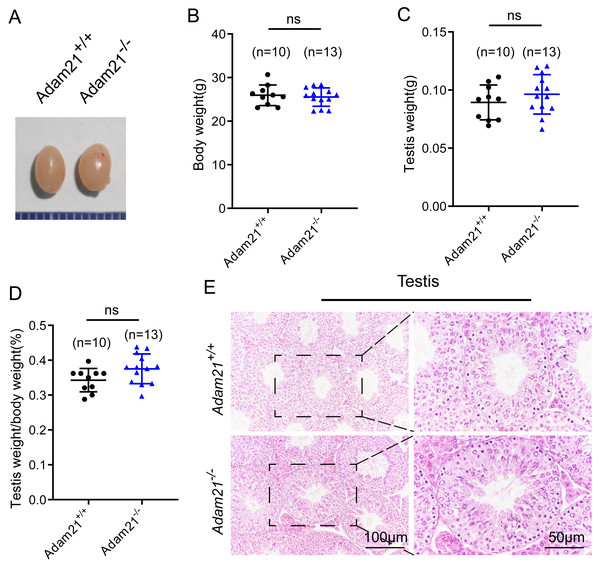 The knockout of Adam21 doesn't affect testis size and seminiferous tubule.