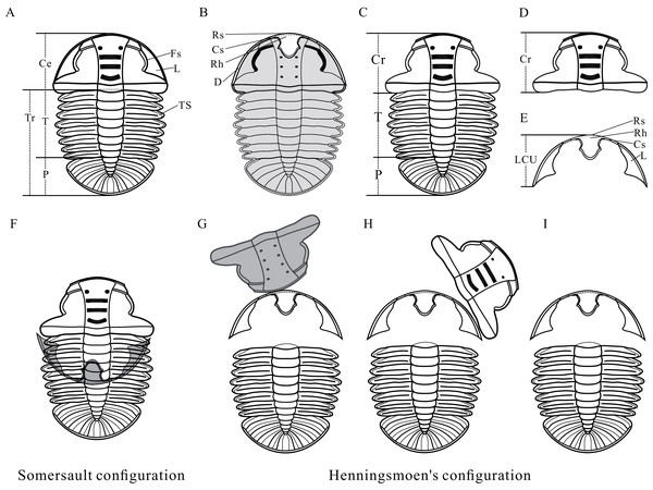 Reconstructions of Arthricocephalites xinzhaiheensis.