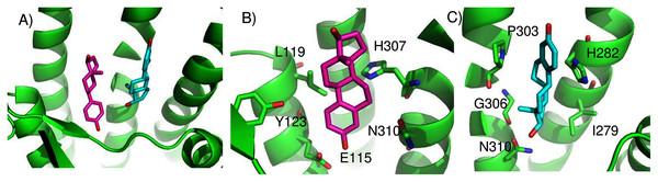 Predicted E2 binding sites in GPER.