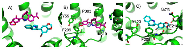 Predicted G1 and G15 binding sites in GPER.