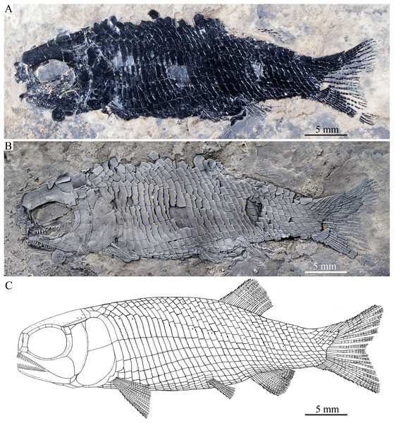 Holotype and reconstruction.