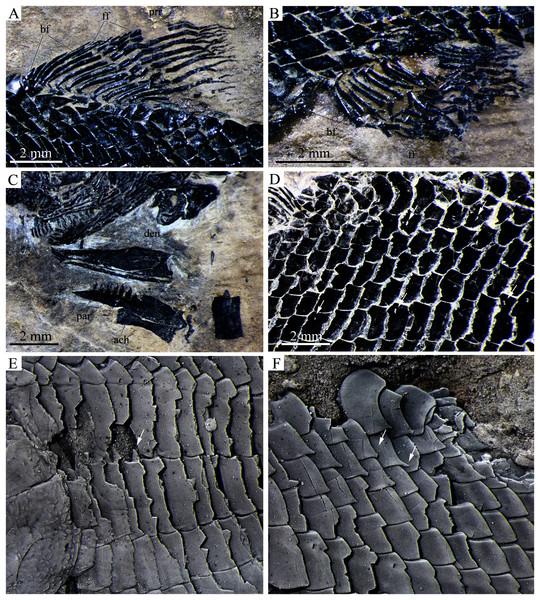 Detached cranial bones, fins and scales.