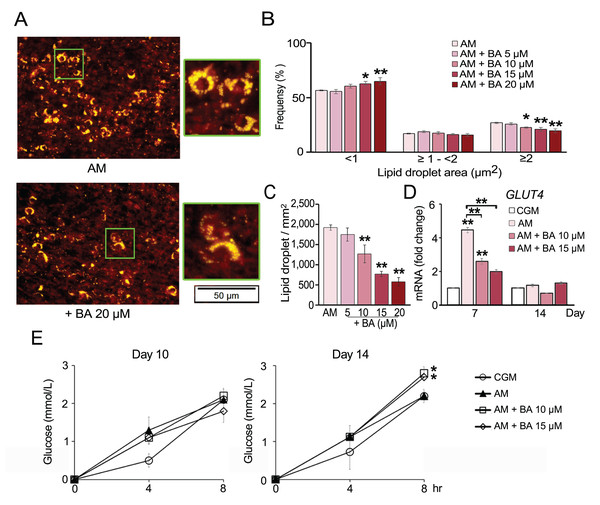 Effect of BA on hMSC lipid droplet formation and glucose uptake.