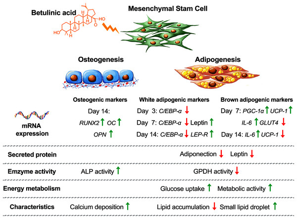 Concluding schematic shows how BA alters the fate of hMSC toward osteogenesis and brown adipogenesis and away from white adipogenesis.