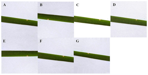 Data augmentation of rice leaf disease images: (A) original image (B) image rotated by 180 degree (C) high brightness (D) Gaussian noise (E) horizontal flip (F) low brightness (G) vertical flip.