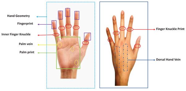 Front and back view of hands along with various biometric traits.