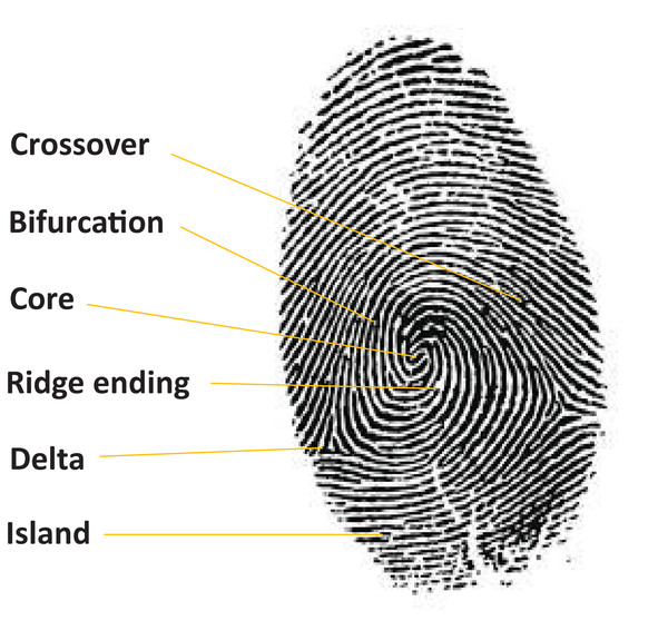 Example of a human fingerprint.
